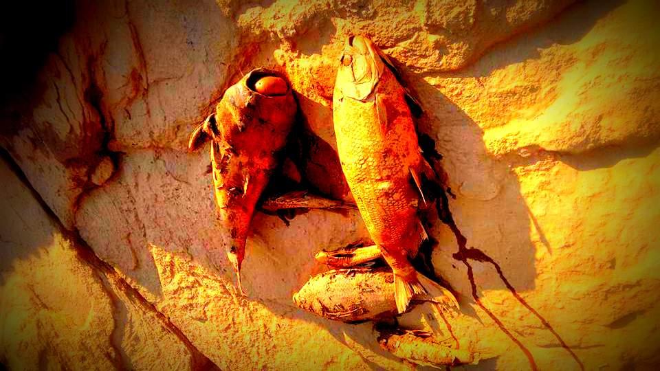 Peixes Mortos pelo Desastre Ambiental de Mariana