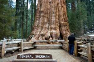 General Sherman - A árvore mais volumosa do mundo - Arvores Famosas